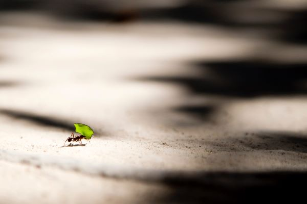 Henderson Smaller Companies, Photo of ant carrying a leaf by Vlad Tchompalov on Unsplash