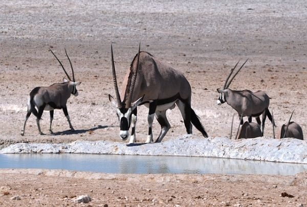 Oryx International Growth, several oryx at a waterhole, Image by JPataG from Pixabay