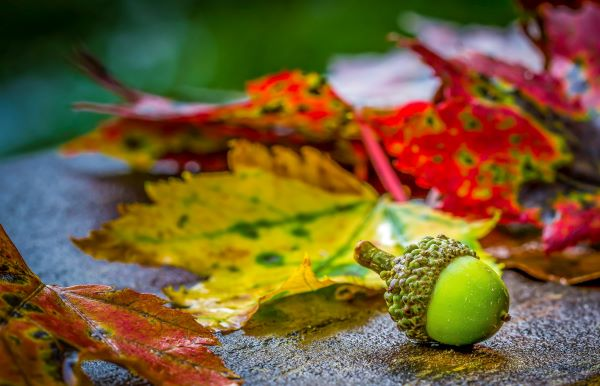 Smithson, acorn with autumn leaves, Photo by Alfred Schrock on Unsplash